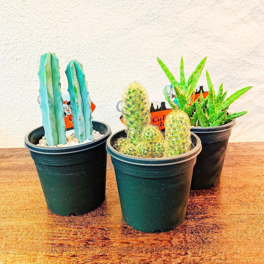 Greenでは観葉植物のなかでもサボテンをおすすめする理由とは!