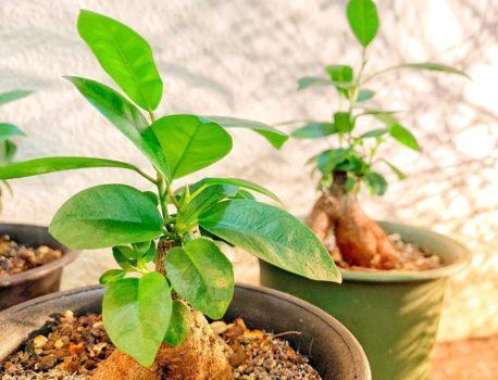 精霊が宿る観葉植物ガジュマルの木!これで幸運がやってくる!?