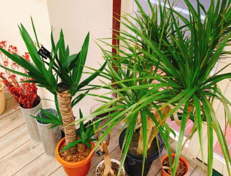 部屋をおしゃれに☆新しい観葉植物入荷してます