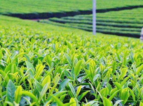 オーガニックの緑茶・いりえ茶園 ホールリーフの販売を開始します